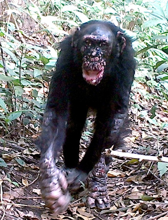 Brinkos is a chimpanzee with leprosy in Guinea-Bissau in Africa. (Credits: PA)
