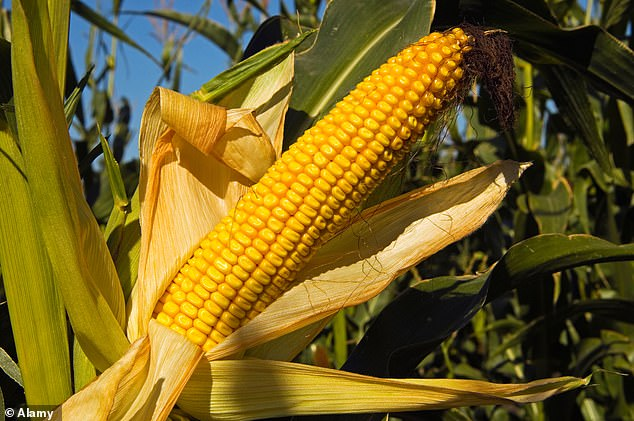 Scientists at the University of Illinois tested the crowding tolerance of corn hybrids dating back as 1934 and found yields increased a third of a ton per decade