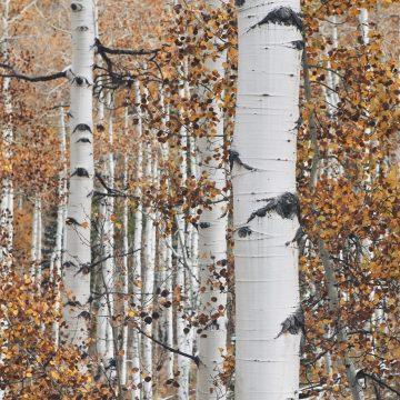 Mindfulness naturterapi birketræer efterår