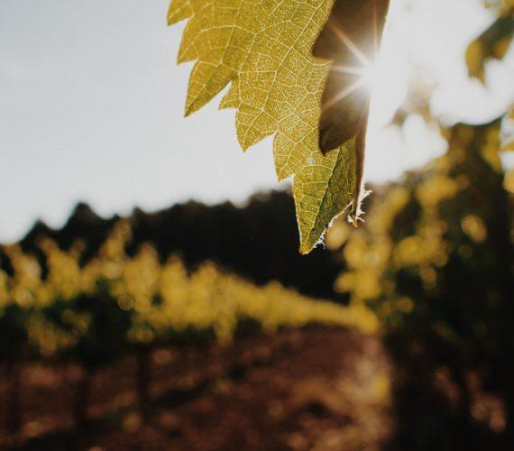 Wijngaarden van de Penedès