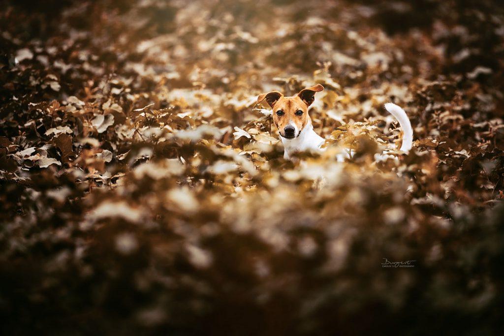 Jack Russel Terrier, Hundefotografie, Fotograf, Hundeshooting, Hund, Tiershooting, Ortenau, Baden-Baden, Achern, Renchen, Oberkirch, Rheinau, Bühl, Rastatt, Karlsruhe, Offenburg, Baden-Württemberg, Tierische Momente von Dauer, Carolin Burgert