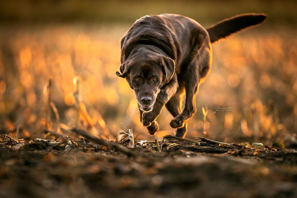 Labrador, Herbst, Hundefotografie, Fotograf, Hundeshooting, Hund, Tiershooting, Ortenau, Baden-Baden, Achern, Renchen, Oberkirch, Rheinau, Bühl, Rastatt, Karlsruhe, Offenburg, Baden-Württemberg, Tierische Momente von Dauer, Carolin Burgert, schöne Bilder