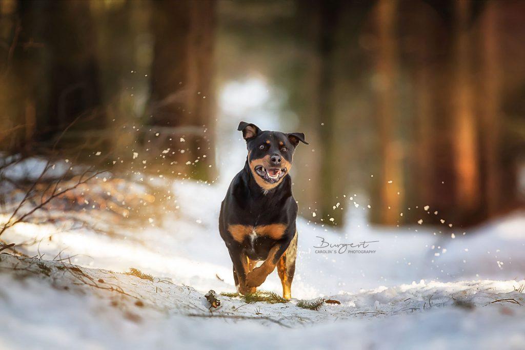 Brandrüttel, Rottweiler, Schnee, Hundefotografie, Fotograf, Hundeshooting, Hund, Tiershooting, Ortenau, Baden-Baden, Achern, Renchen, Oberkirch, Rheinau, Bühl, Rastatt, Karlsruhe, Offenburg, Baden-Württemberg, Tierische Momente von Dauer, Carolin Burgert, schöne Bilder