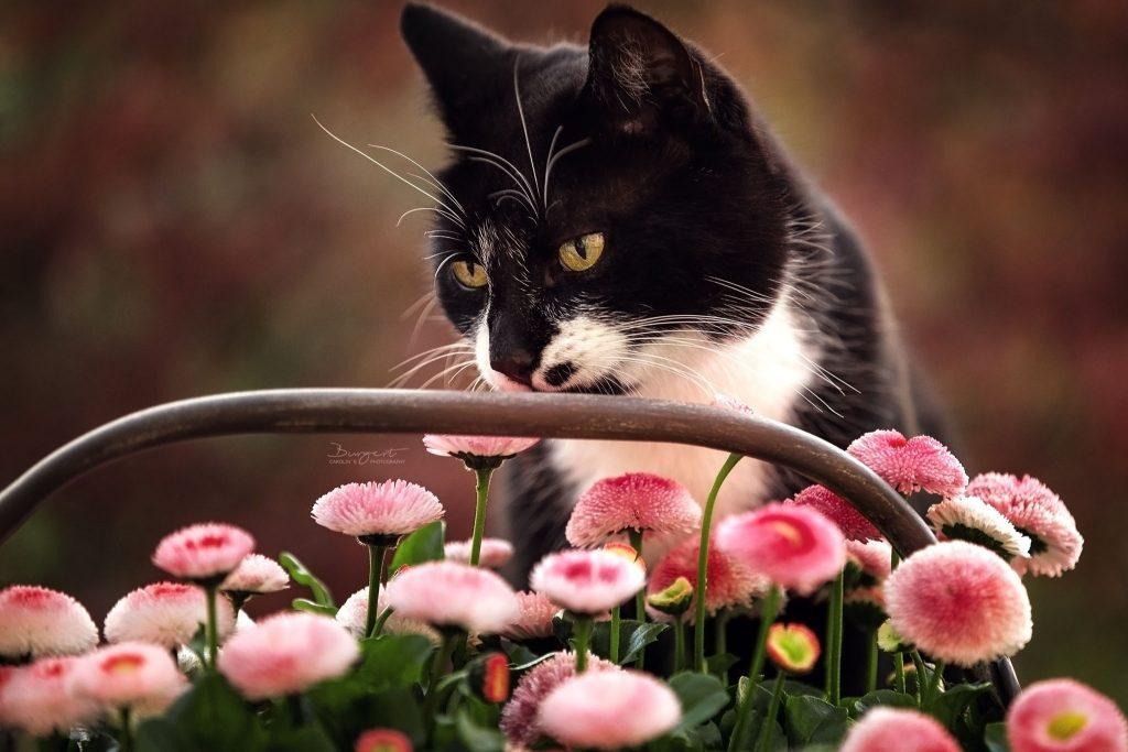 Katze riecht an Blumen