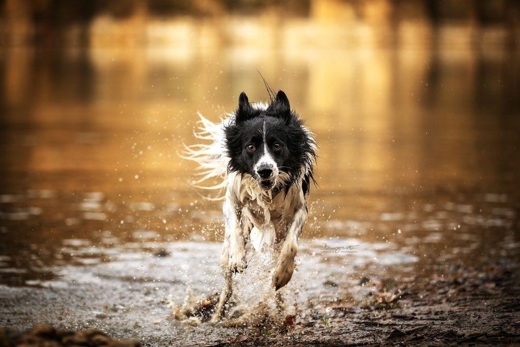 Hund in Wasseraction