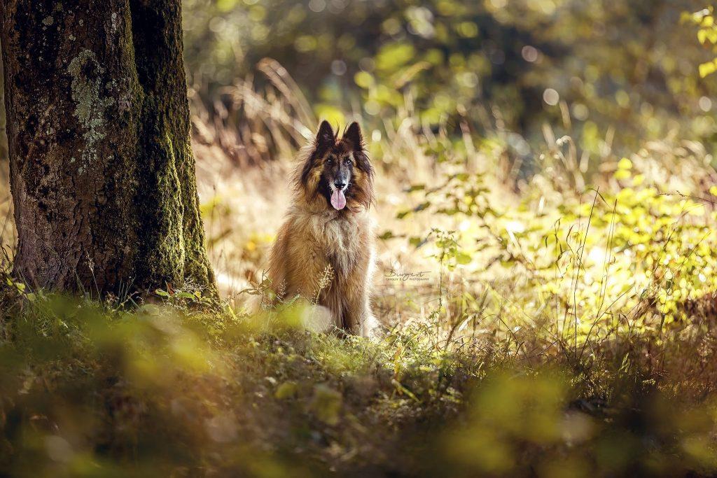 altdeutscher Schäferhund im Wald