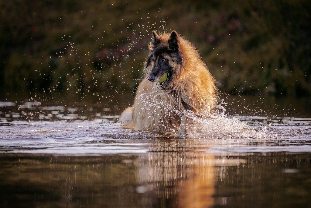Altdeutscher Schäferhund im Wasser