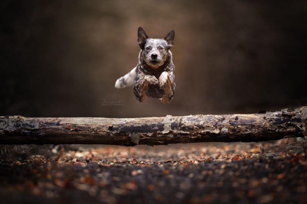 Dogs in Action, Jump, springender Hund, Cattle Dog, Hundefotografie, Fotograf, Hundeshooting, Hund, Tiershooting, Ortenau, Baden-Baden, Achern, Renchen, Oberkirch, Rheinau, Bühl, Rastatt, Karlsruhe, Offenburg, Baden-Württemberg, Tierische Momente von Dauer, Carolin Burgert, schöne Bilder