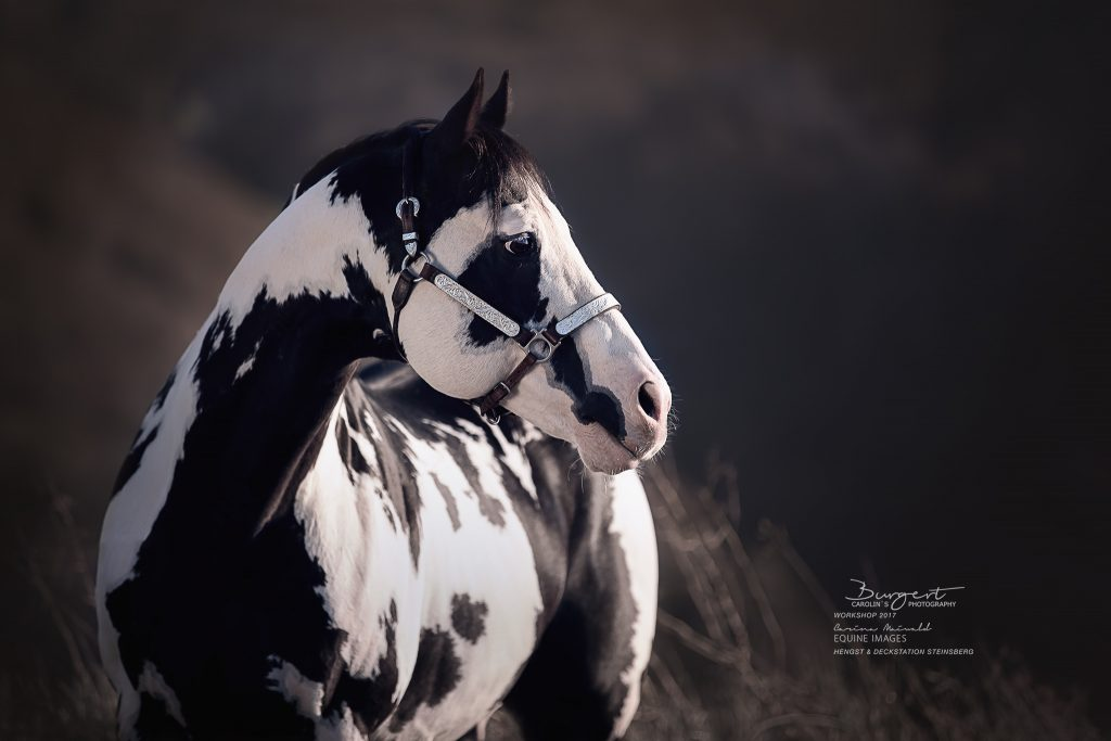 "American Paint Horse ""Colonel Coosader"""