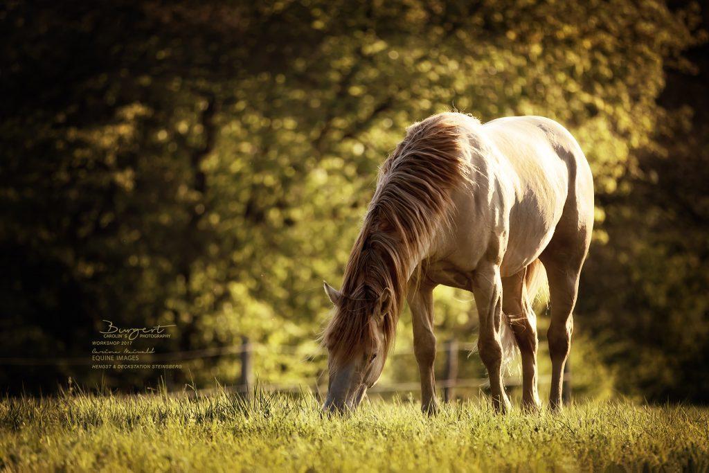 "American Quarter Horse ""Rugged in Gold"""