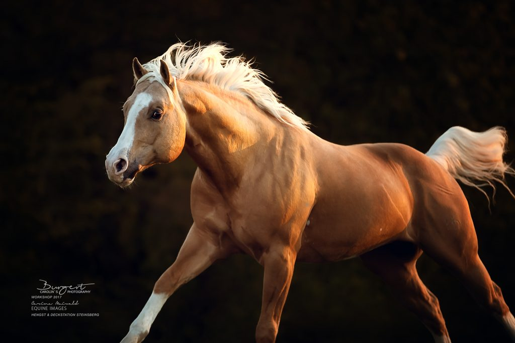 """American Quarter Horse """"Little Chex to Cash"""""""