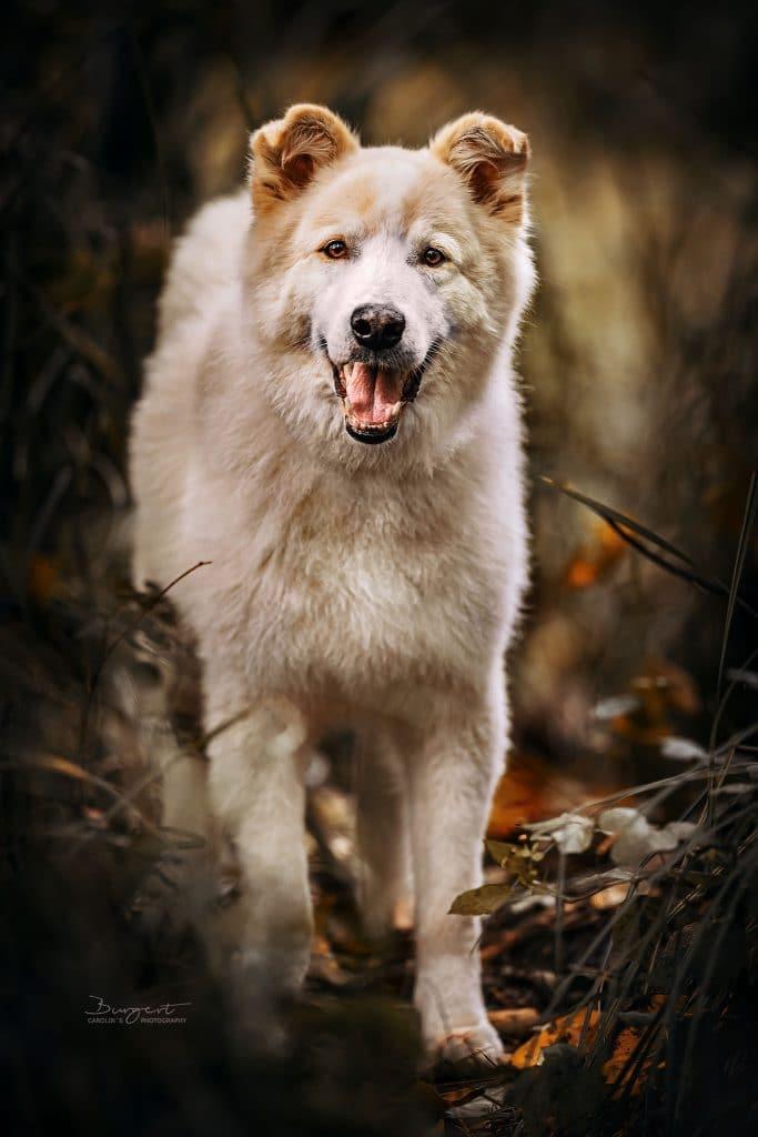 Samojede-Collie Mix, Hundefotografie