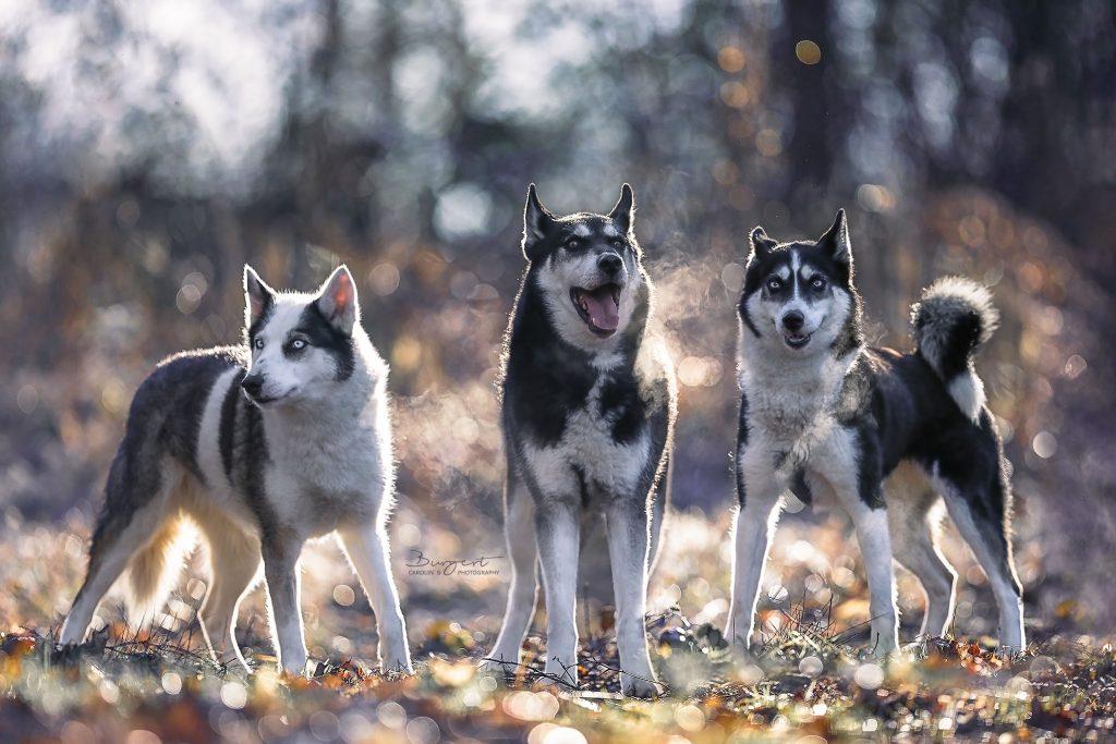 Husky im Winterwunderland
