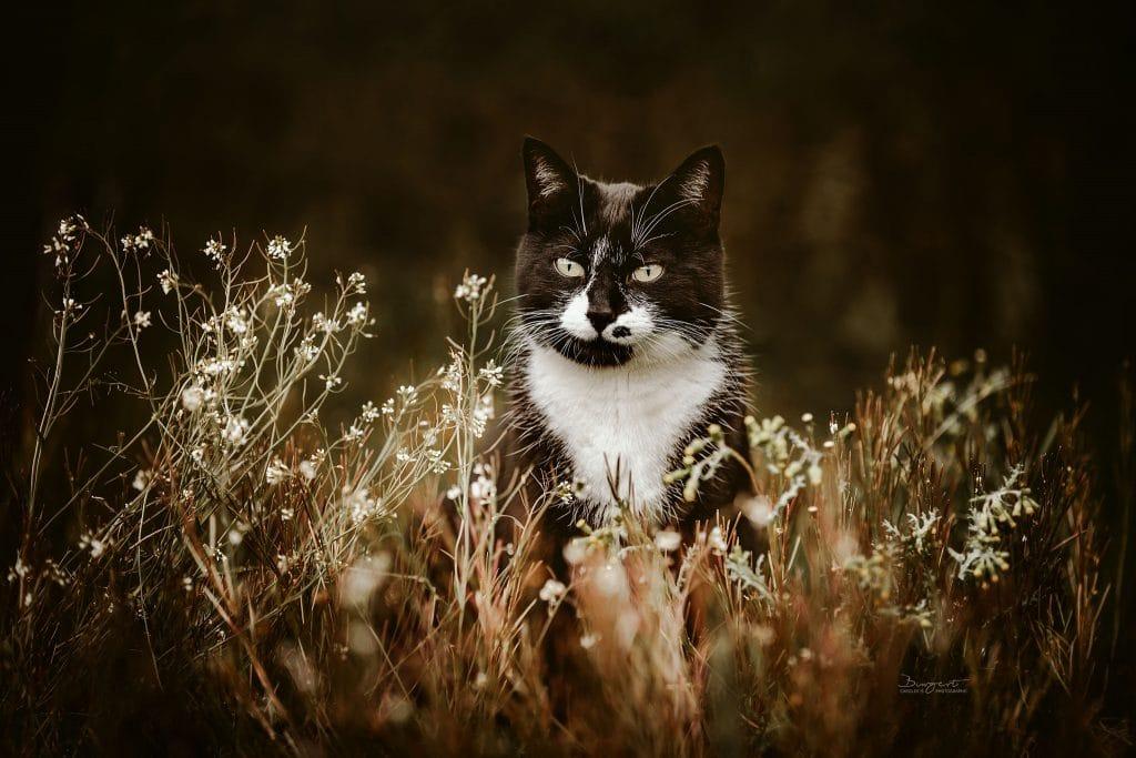 schwarzweisse Katze in der Blumenwiese