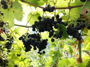 Vores druer