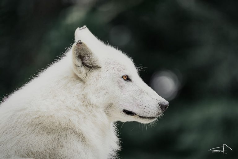 Sony 200 - 600 Review White Wolves portrait photography by Cedric Paquet