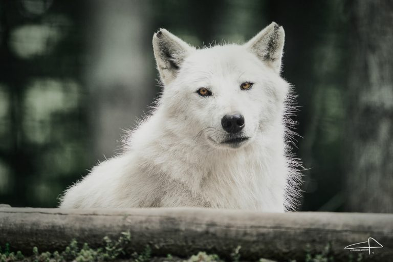 Sony 200 - 600 Review White Wolves by Cedric Paquet