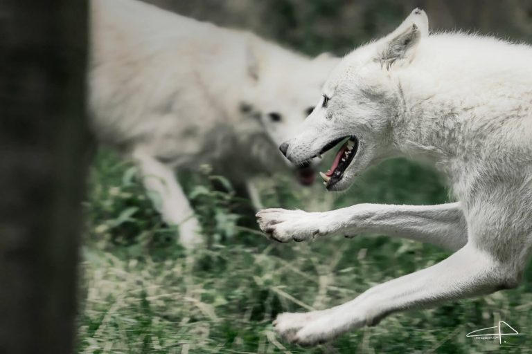 Sony 200 - 600 Review White Wolves in action by Cedric Paquet