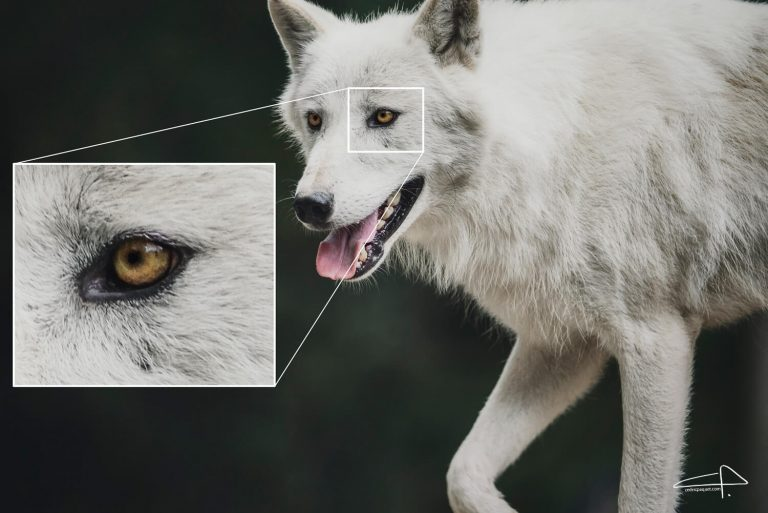 Sony 200 - 600 Review White Wolves Sharpness by Cedric Paquet