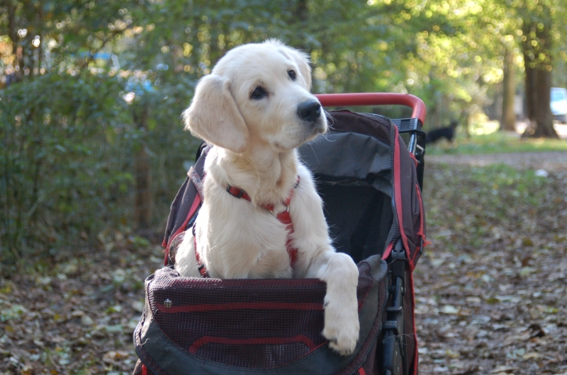 pup in buggy