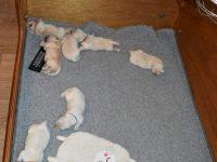 Pups Hannah 6 dagen oud...