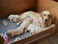 Hannah en de pups 23-01-2021