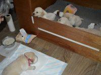 De pups kijken mee...