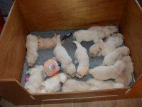 Alle pups even bij Hannah bij elkaar gezet om te wennen 1-2-2021
