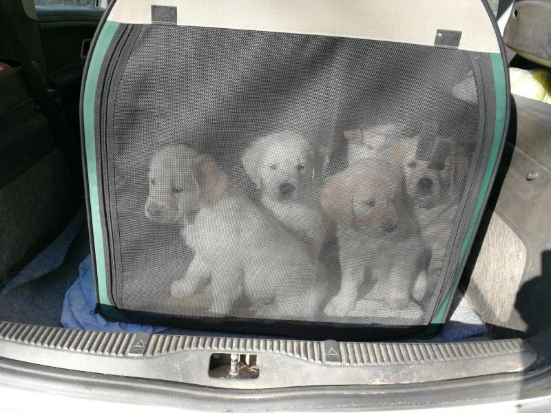 pups-in-auto