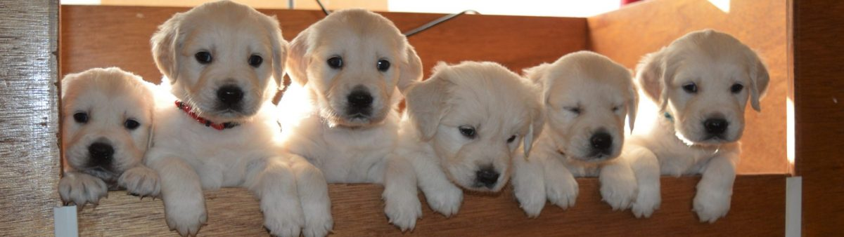 Golden Retriever Kennel Chairoezan's
