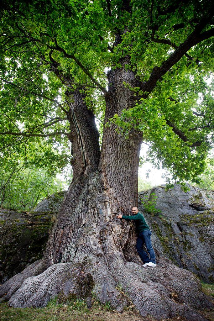 Vinkel: Vi tar med en trädinvesterare till stockholms tjockaste ek på djurgårn