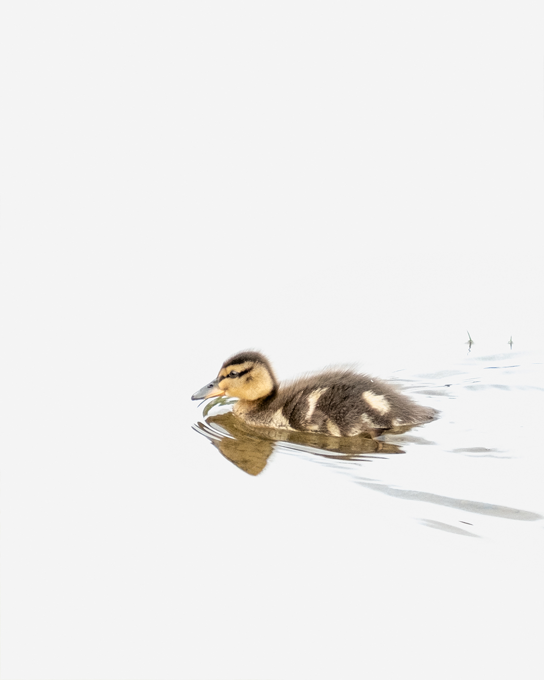 DSCF8662-1-WEB andunge duckling stokkand mallard ciliestad cecilie jystad