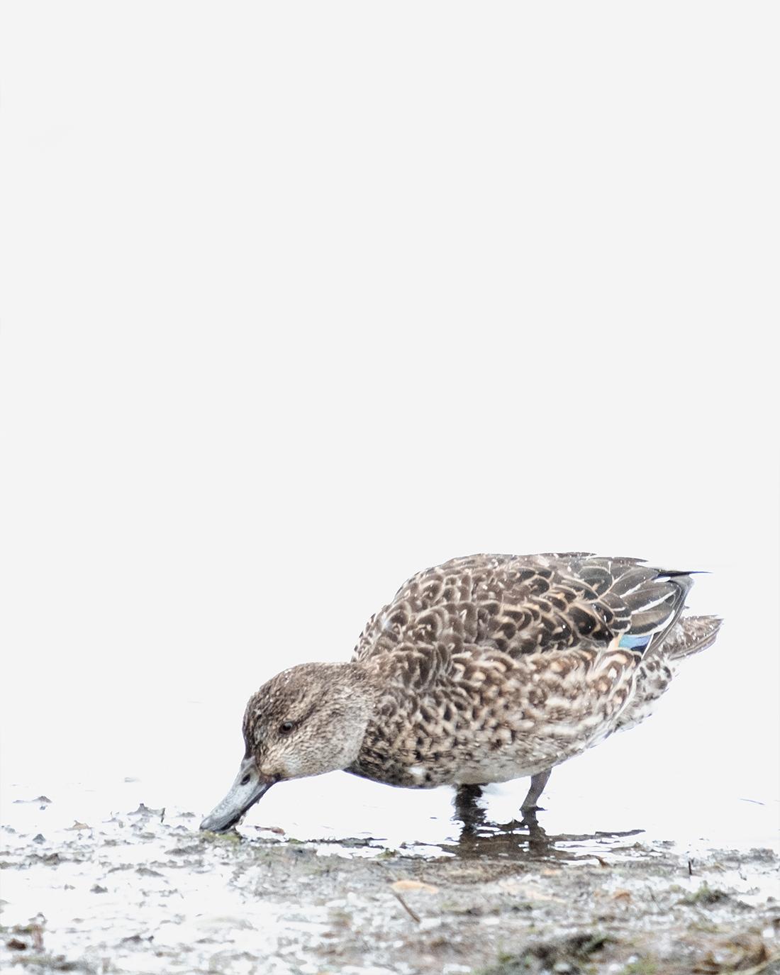 DSCF9202-1-WEB – 2 ciliestad krikkand eurasian teal trondheim bird fugl