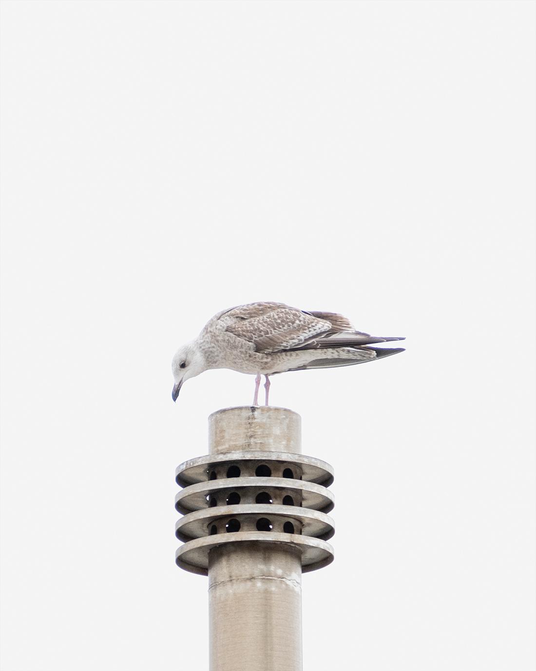 DSCF1342-2-WEB-måke-trondheim-fuglefoto-kunstfoto-cecilie-jystad