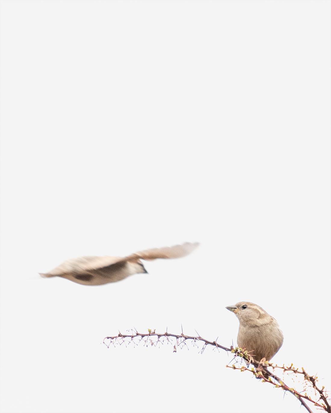 DSCF3131-2-WEB-fuglefoto-gråspurv-kunstfoto-cecilie-jystad