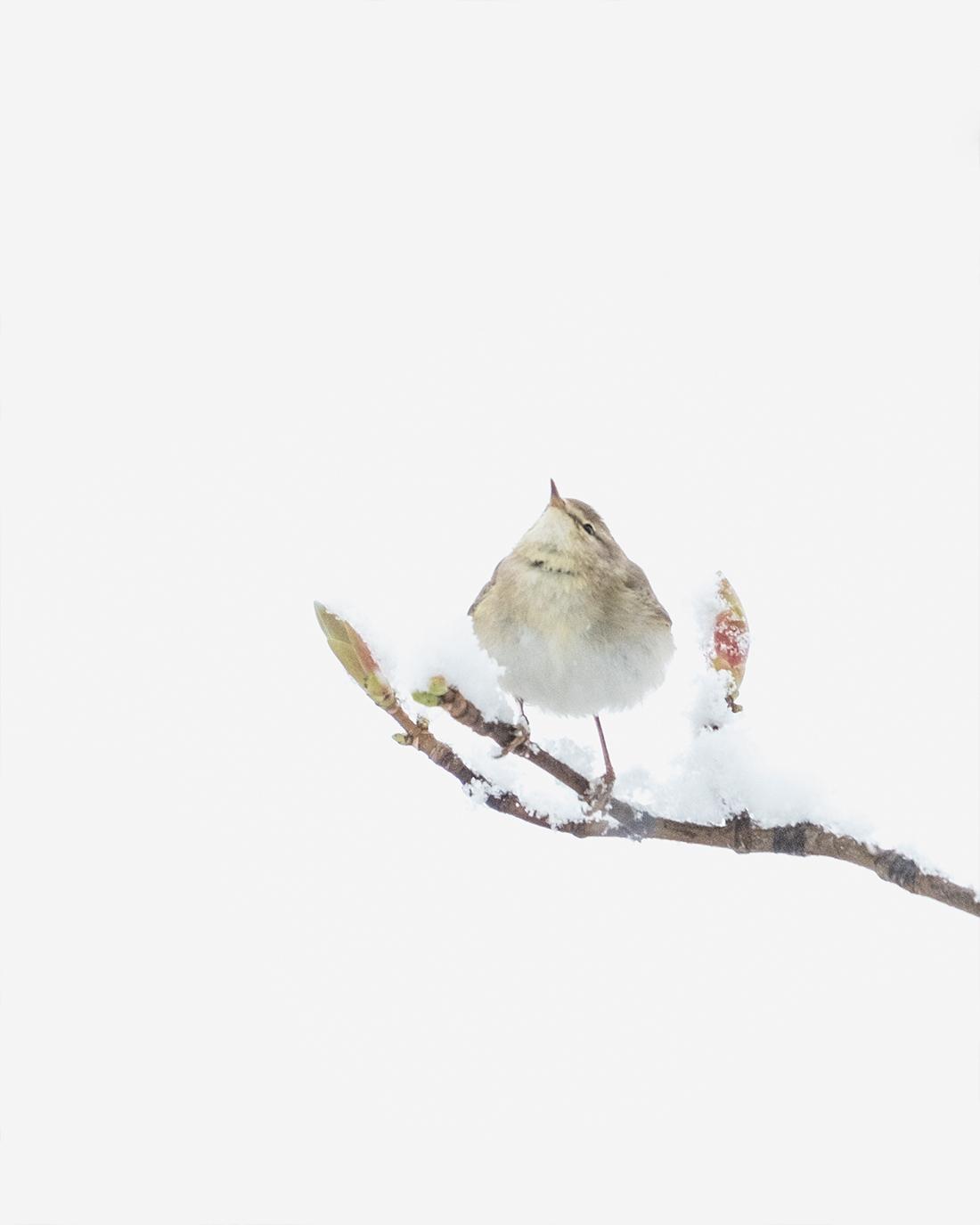 DSCF6492-1WEB2-fuglefoto-løvsanger-trondheim-cecile-jystad-kunstfoto