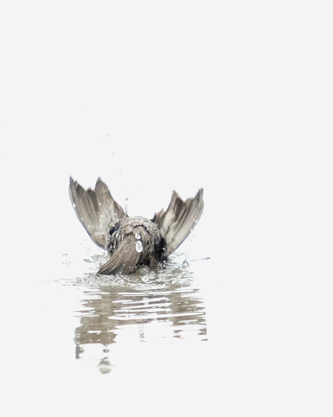 DSCF7546-1-WEB-ciliestad-bathing-housesparrow-fuglefoto-kunstfoto-trondheim