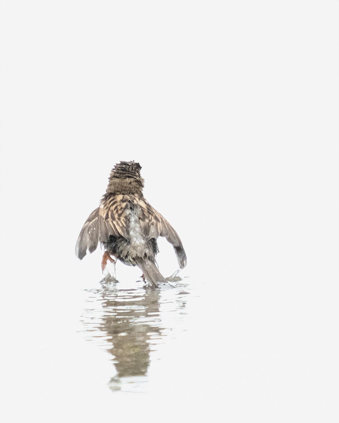 DSCF7550-1-WEB-house sparrow – bathing – ciliestad