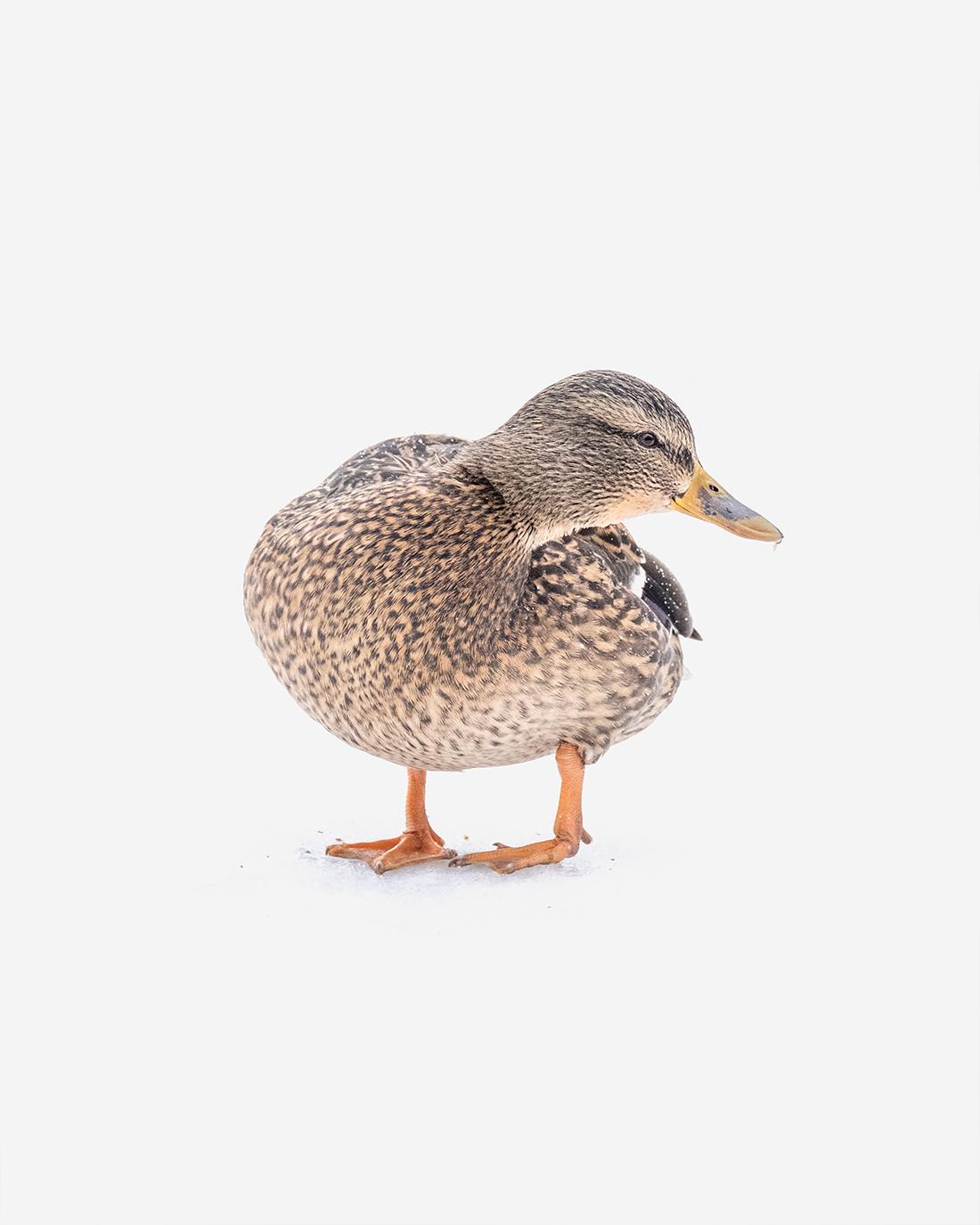 DSCF0715-1-WEB-ciliestad-female-mallard-trondheim-bird