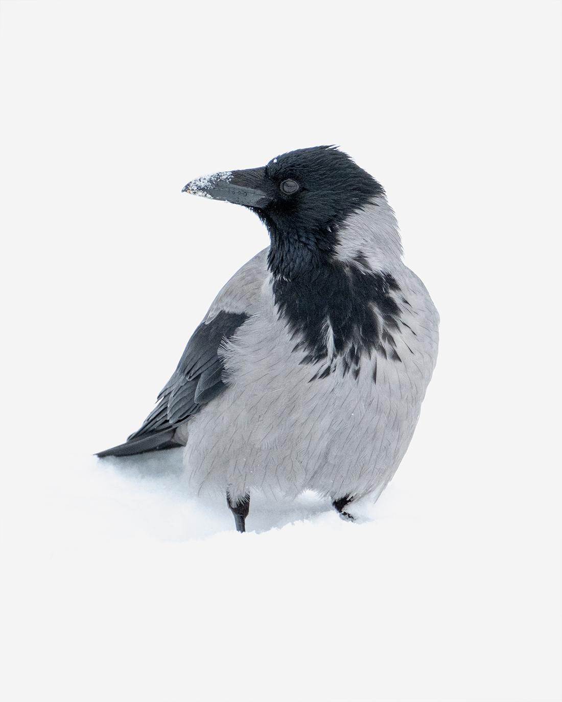 DSCF9434-3-WEB-hooded-crow-kråke-ciliestad-trondheim