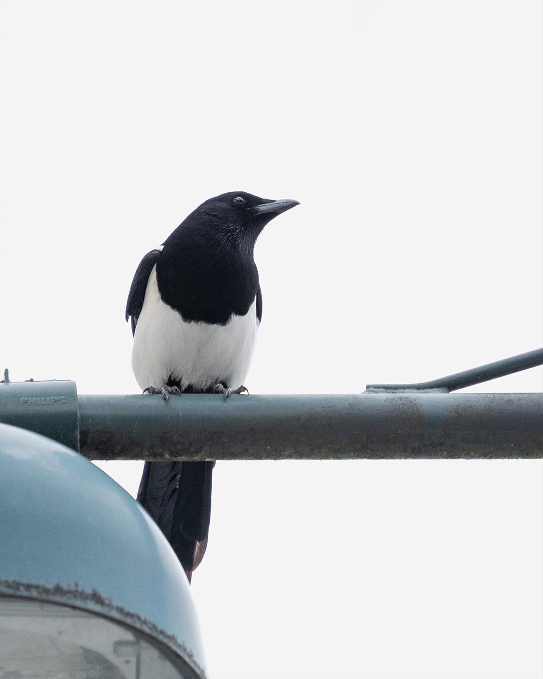 DSCF0349-2-WEB-ciliestad-skjære-trondheim-fuglefoto