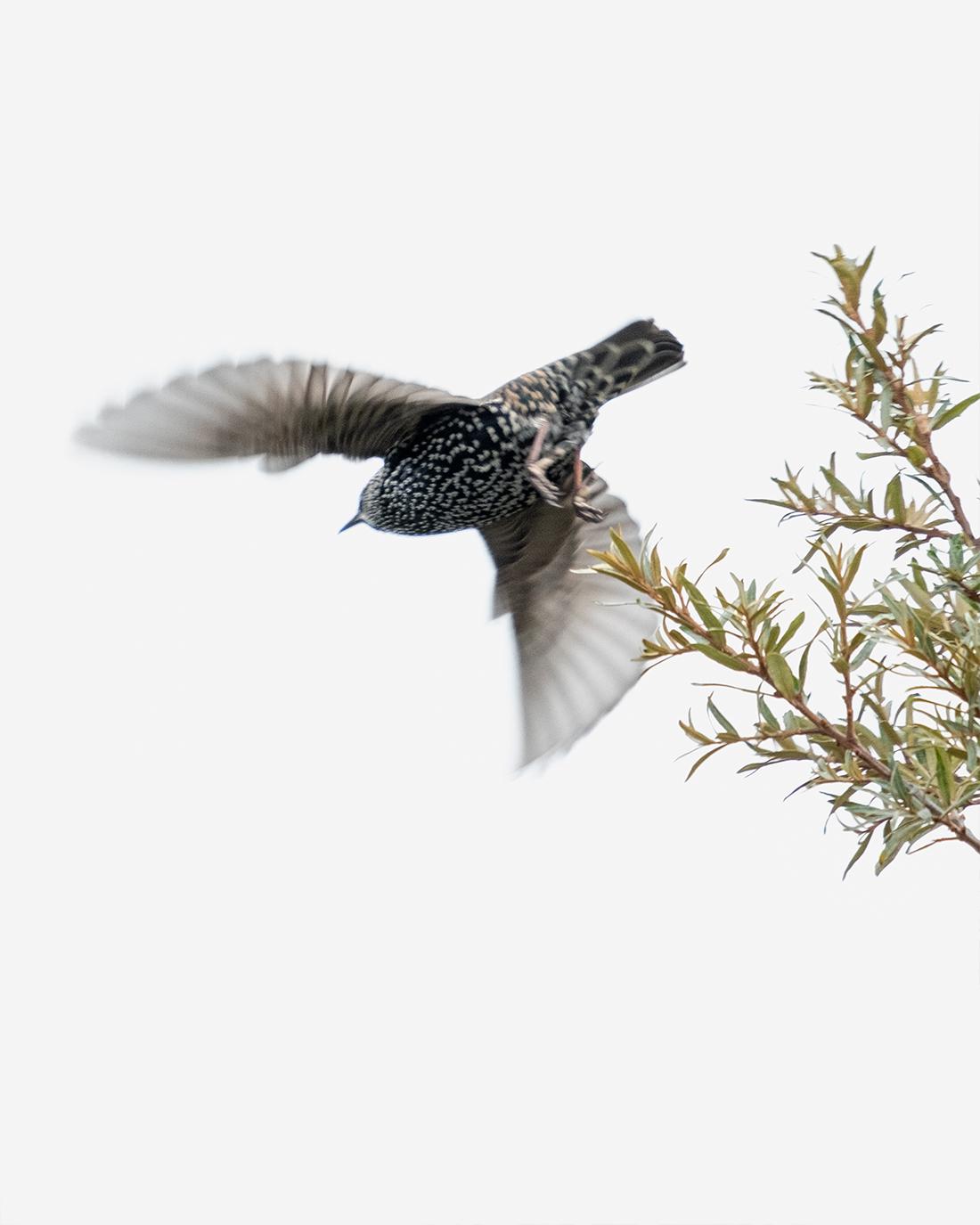 DSCF3062-1-WEB-2-stær-fuglefoto-trondheim-kunstfoto-cecilie-jystad