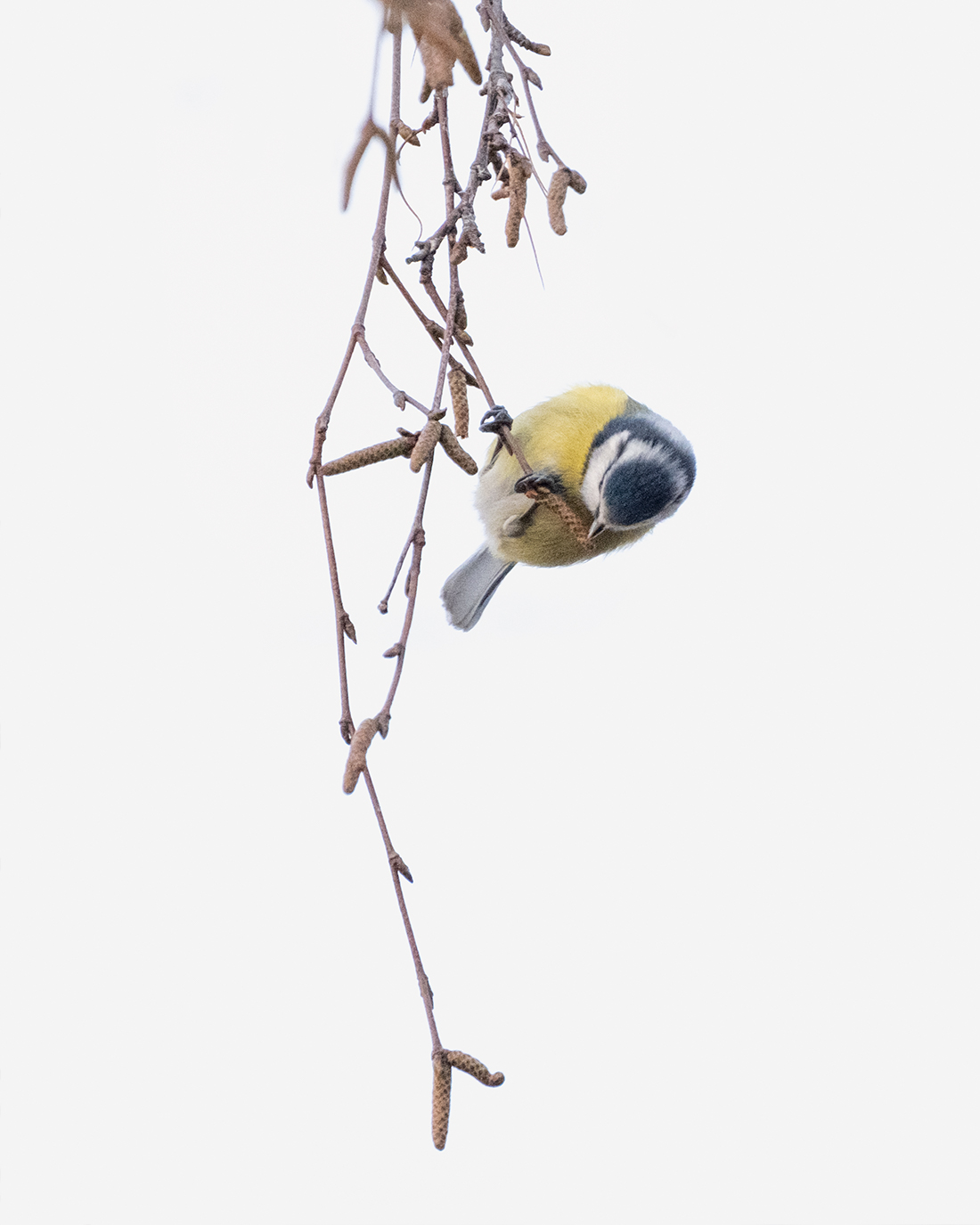DSCF8319-1-WEB-blåmeis-ciliestad-trondheim-fuglefoto