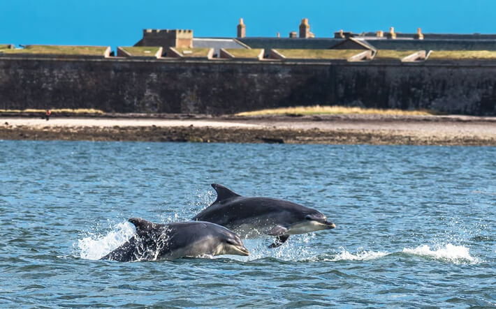 Bottlenose Dolphin Jumping in the Moray Firth