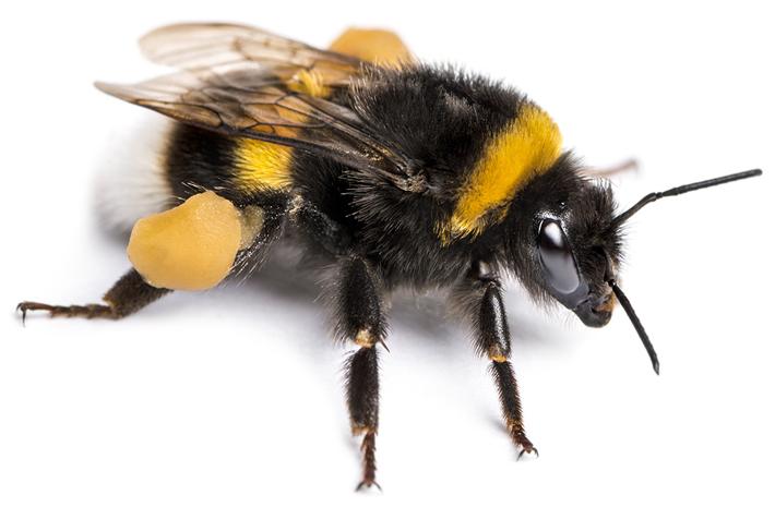 The Buff-Tailed Bumblebee