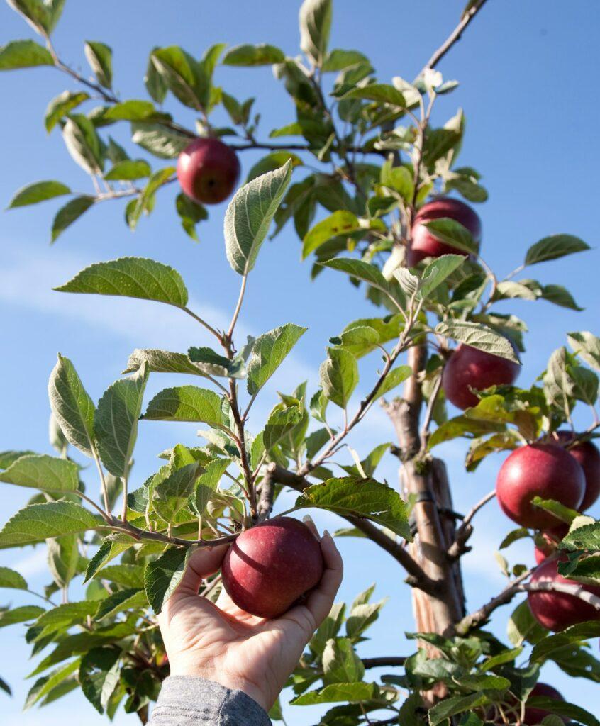 Friske epler rett fra den norske bonden