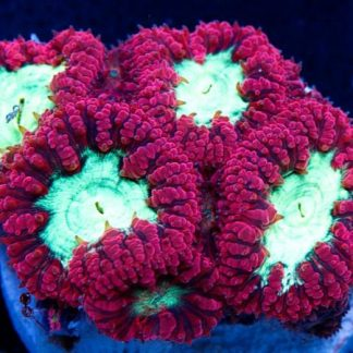 Corales Duros