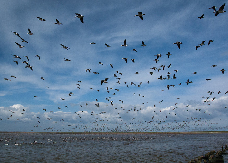 Bramgæs i Vadehavslandskab - Weißwangengänse im Wattenmeerlandschaft - Barnacle Geese in landscape of the Wadden Sea  Foto : Bo L. Christiansen  ©