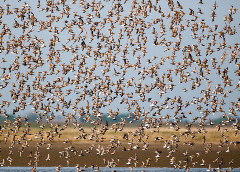 Flok Almindelige Ryler - Schwarm von Alpenstrandläufer - Flock of Dunlins  Foto : Bo L. Christiansen  ©