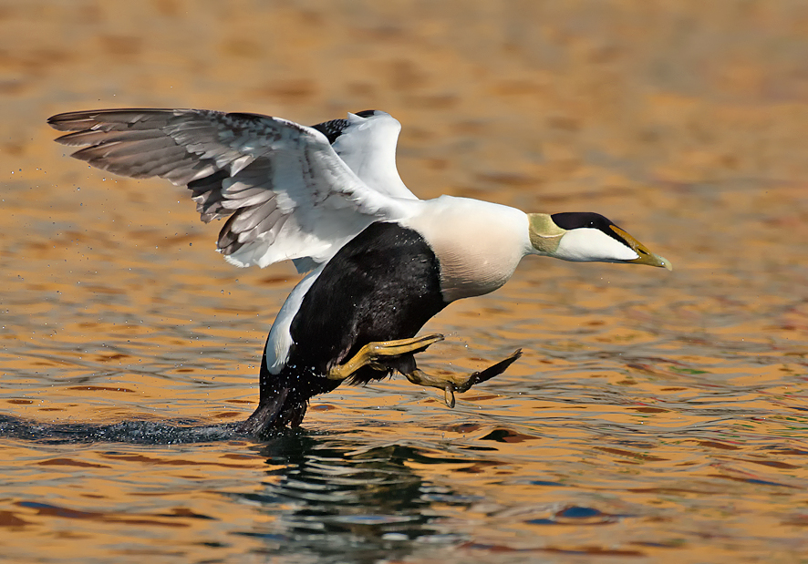 Ederfugl , han ved landing - Eiderente , Männchen beim landen - Eider , male at the landing Foto : Bo L. Christiansen  ©